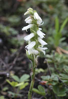 Great Plains Ladies' Tresses (Spiranthes magnicamporum)