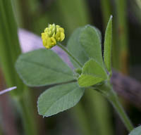 Medick, Black (Medicago lupulina)