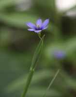 Blue-eyed Grass, Stout (Sisyrinchium angustifolium)
