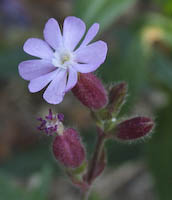 Red Campion (Lychnis dioica)
