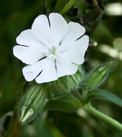 White Campion (Silene latifolia)