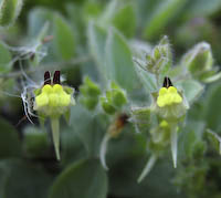 Cancerwort, Roundleaf (Kickxia spuria)