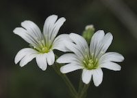 Field Chickweed (Cerastium arvense)
