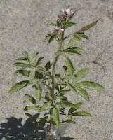 Clammyweed (Polanisia dodecandra)