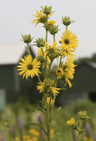 Compass Plant (Silphium laciniatum)