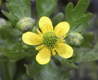 Crowfoot, Small Yellow Water (Ranunculus gmelinii)