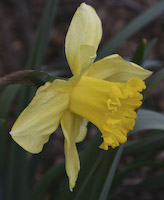 Daffodil (Narcissus pseudonarcissus)