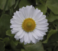 Daisy, English (Bellis perennis)