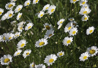 Daisy, Oxeye (Leucanthemum vulgare)