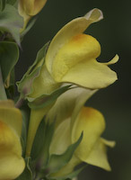 Toadflax, Dalmation (Linaria dalmatica)