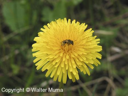 Common Dandelion (Taraxacum officinale) flower