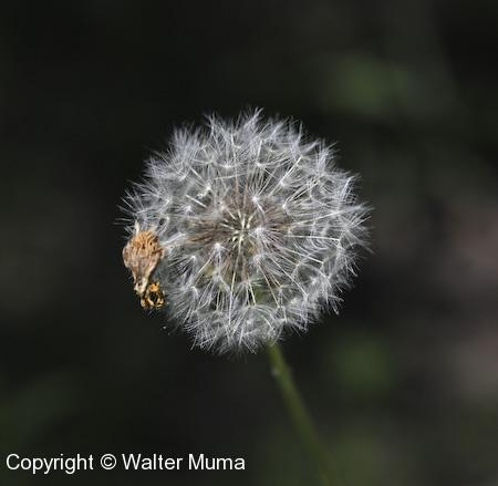 Common Dandelion (Taraxacum officinale) seed head