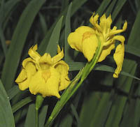 Iris, Yellow (Iris pseudacorus)