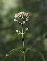 Joe Pye Weed, Sweet-scented (Eupatorium purpureum)