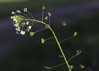 Purse, Shepherd's (Capsella bursa-pastoris)