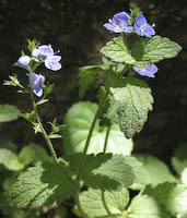 Bird's-eye Speedwell (Veronica chamaedrys)