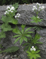 Woodruff, Sweet (Galium odoratum)