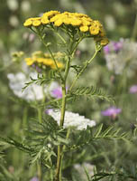 Tansy (Tanacetum vulgare)