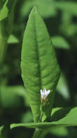 Tearthumb, Arrow-leaved (Polygonum sagittatum)