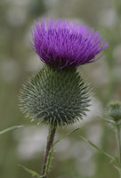 Thistle, Bull (Cirsium vulgare)