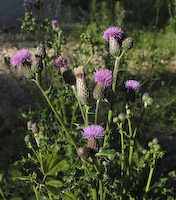 Thistle, Canada (Cirsium arvense)