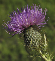 Thistle, Field (Cirsium discolor)