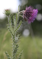 Thistle, Nodding (Carduus nutans)