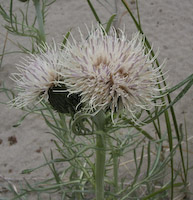 Thistle, Pitcher's (Cirsium pitcheri)