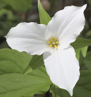Trillium, White (Trillium grandiflorum)
