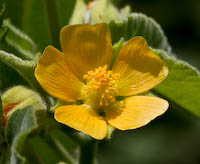 Velvetleaf (Abutilon theophrasti)