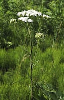 Yarrow (Achillea millefolium)