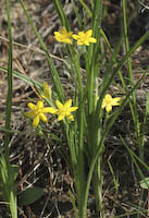 Stargrass, Yellow (Hypoxis hirsuta)