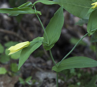 Bellwort, Perfoliate (Uvularia perfoliata)