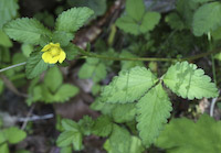 Strawberry, Indian (Duchesnea indica)