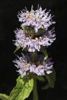Downy Wood Mint (Blephilia ciliata)