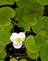 Frogbit (Hydrocharis morsus-ranae)