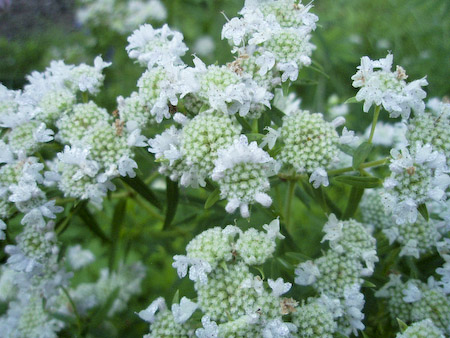 Hairy Mountain Mint (Pycnanthemum verticillatum)