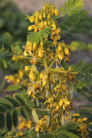 Senna, Wild (Cassia hebecarpa)