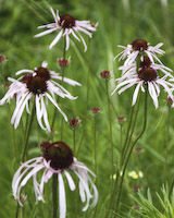 Coneflower, Pale Purple (Echinacea pallida)