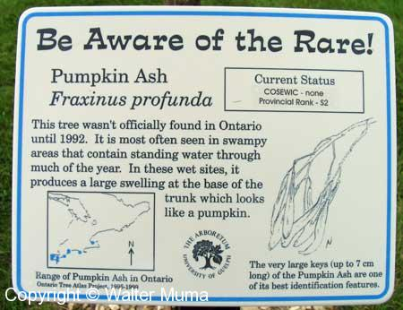Pumpkin Ash (Fraxinus profunda)