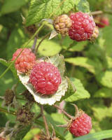 Wild Red Raspberry (Rubus idaeus)