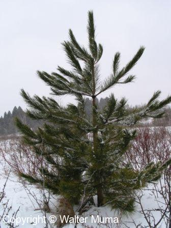 Red Pine (Pinus resinosa)