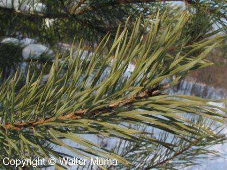 Scots Pine (Pinus sylvestris)