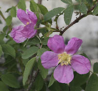 Rose, Prickly Wild (Rosa acicularis)