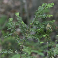 Yew (Taxus canadensis)