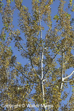 Trembling Aspen (Populus tremuloides) trees