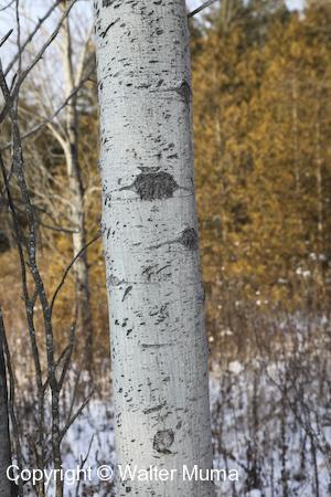Trembling Aspen (Populus tremuloides) trunk