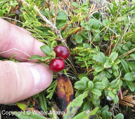 Bearberry (Arctostaphylos uva-ursi) berries