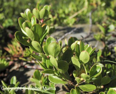 Bearberry (Arctostaphylos uva-ursi) leaves
