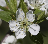 Canada Plum (Prunus nigra)